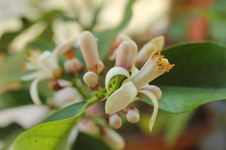 a lemon flower of a plant of lemon Imagens