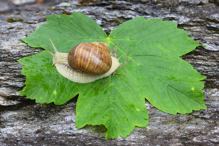 freshwater snails: a snail on the leaf