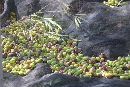some olives on the tarpaulin freshly harvested