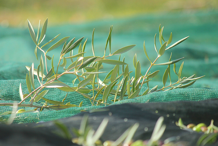 olive branch on the tarpaulin during the harvesting