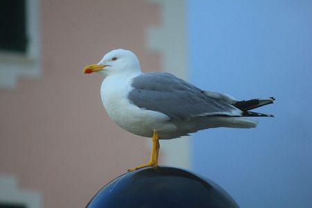 a seagull on a street lamp Stock Photo