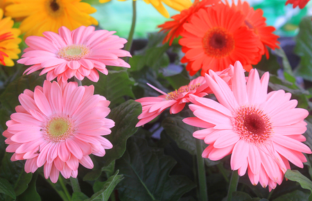 some gerbera flowers with different colors in the garden