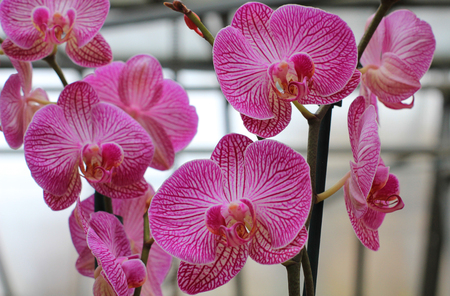 some orchids flower of pink color