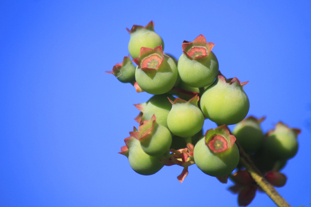 a blueberry plant not yet ripe