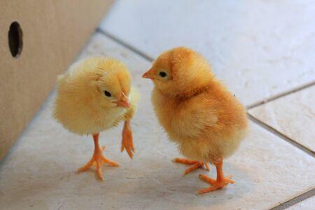 some chicks on the floor Standard-Bild - 127530525