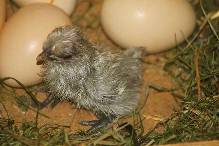 a gray chick just born Standard-Bild - 127530613
