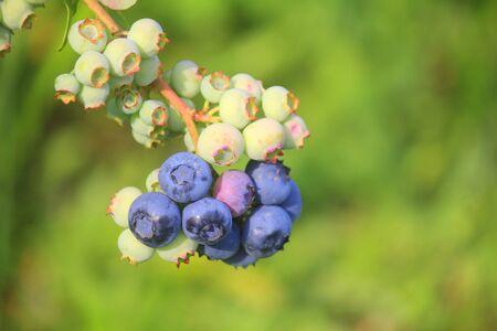 a plant of blueberries Standard-Bild - 127530623