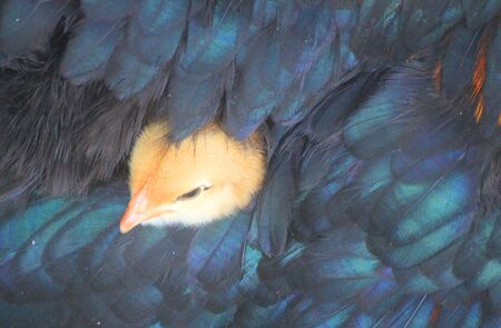 a chick under the hen's feathers Standard-Bild - 127530774