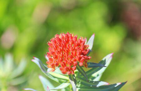 a mountain flower in the meadow in Summer Standard-Bild - 127530869