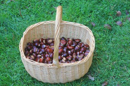 a wicker basket with chestnuts in the autumn Standard-Bild - 131603530
