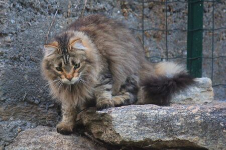 a cat that looks like a lion