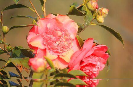 a camellia plant in the garden Standard-Bild