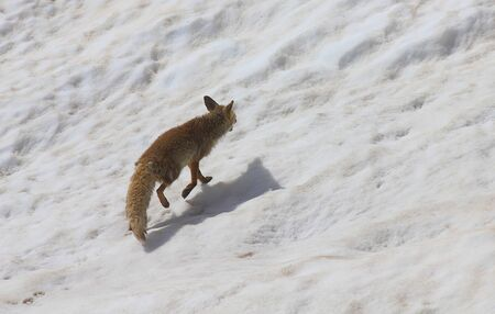 a fox on the snow in mountain