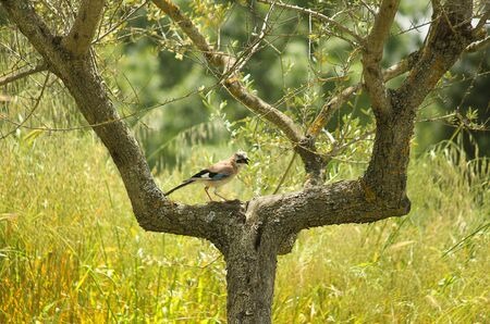 a jay on the trunk of a tree Standard-Bild
