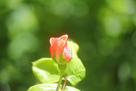 a close up of pink rose flower in the garden Standard-Bild