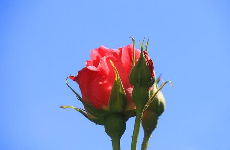 a close up of a red rose in the garden Standard-Bild
