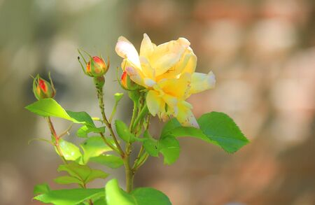a close up of a yellow rose in the garden
