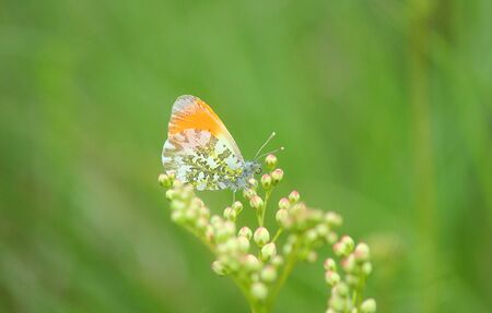 a butterfly orange and white on the plant Standard-Bild