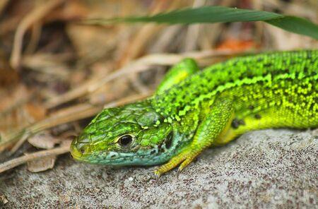 a close up of a green lizard on the stone Standard-Bild