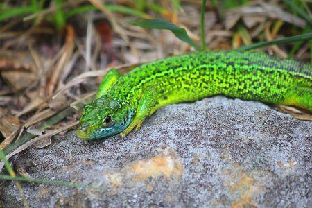 a green lizard on the stone Standard-Bild