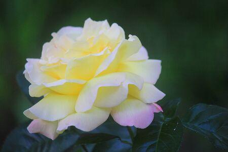 an open yellow rose in the garden