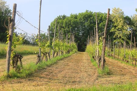 a vine cultivation in the field