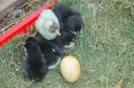 some newborn chicks in the grass Standard-Bild