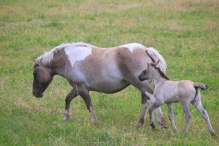 a baby foal following the horse