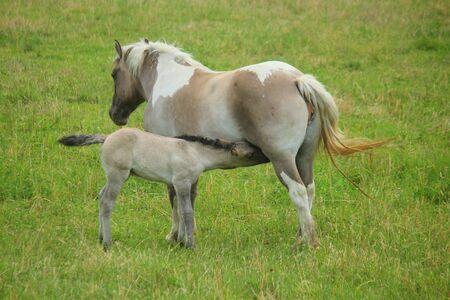 a baby foal suckling milk in the meadow Standard-Bild