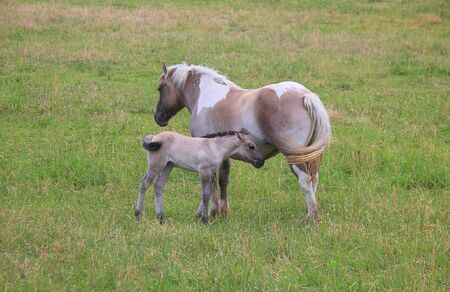 a horse with foal in the meadow