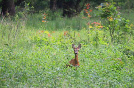 a roe deer in the meadow Standard-Bild
