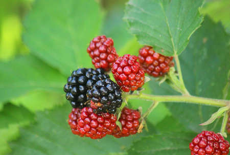 a blackberries on the plant