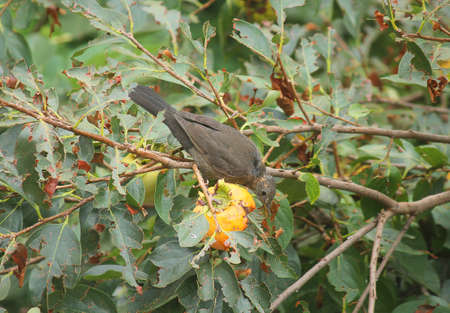 a blackbird eating a persimmon on the tree