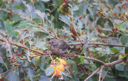 a blackbird on a persimmon tree Standard-Bild