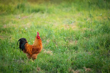 Rooster on the meadow