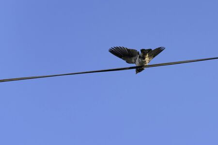 Barn swallow chick learning to fly, Hirundo rustica, with blue sky as background.