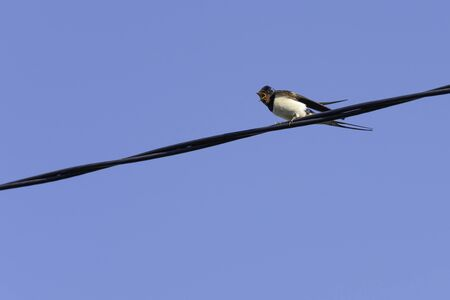 Barn swallow calling its chicken to fly, Hirundo rustica, with blue sky as background. Stock Photo