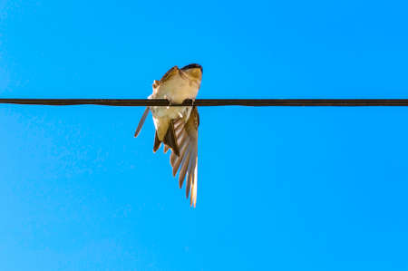 Barn swallow chick preparing for flying lessons, Hirundo rustica, with blue sky as background and the back at the viewer. Stock Photo