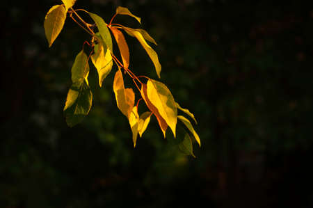 tree branch with yellow leaves in the evening sun, on a dark background in autumn season. Selective focus on leaves