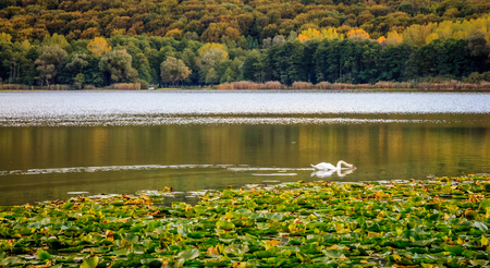 Autumn landscape with swan drinking, waterlilies leaves and woods on the background. Fall enviroment concept Imagens
