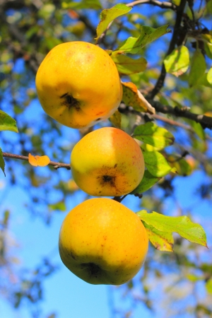 a branch of yellow apple