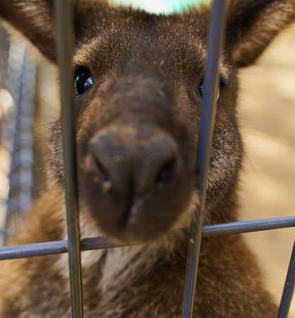 Sad kangaroo behind bars. Sad eyes of an animal in captivity, concept free animals