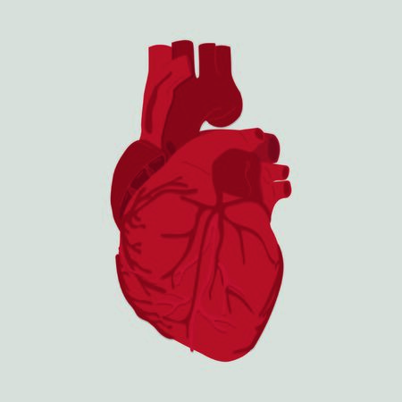 heart organ: Human heart illustration
