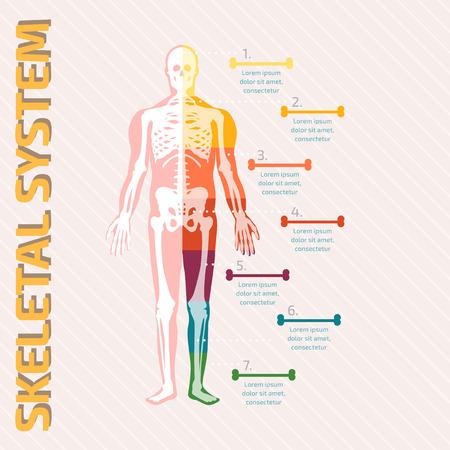 anatomy skeletal: Skeletal System