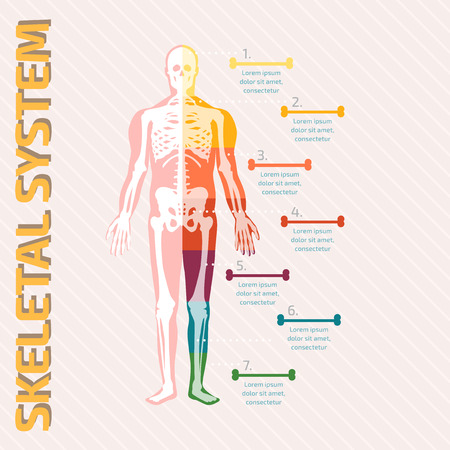 Skeletal System Stock Photos. Royalty Free Skeletal System Images