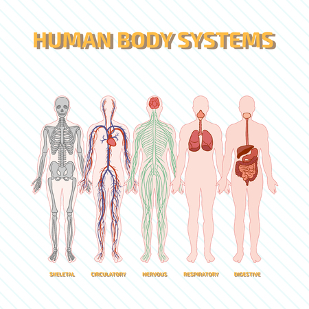 circulatory: Human Body Systems