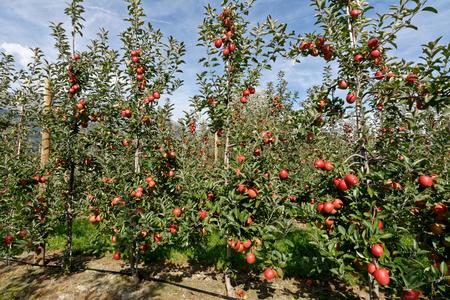Apples before harvest in Valais, Switzerland Standard-Bild