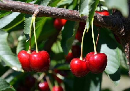 Cherries before harvest in Valais, Switzerland Standard-Bild