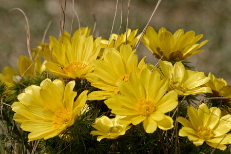 Valais, Switzerland, 10.04.2019 Flower of Adonis vernalis on the bottom of meadow in spring Stock Photo