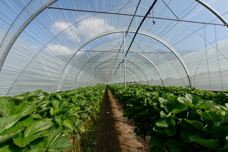 Growing strawberries in tunnel greenhouses